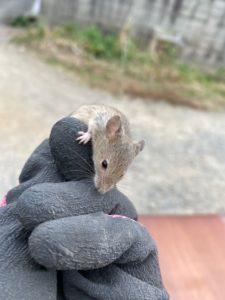 ゴミ屋敷に住むネズミ